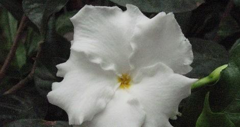 tamarindus indica medicinal uses pdf